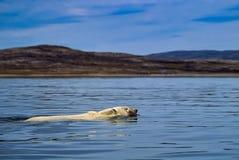 Free Polar Bear Swimming In Canadian Arctic Summer Royalty Free Stock Photos - 188199658