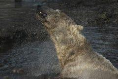 Polar bear swimming Royalty Free Stock Photography