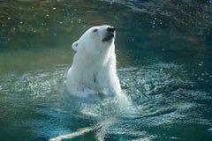 Polar bear swimming royalty free stock image