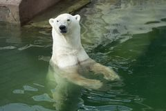 Polar bear swimming in Saint-Petersburg zoo royalty free stock photography