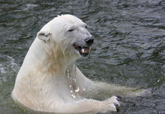 Polar Bear swimming in sea Royalty Free Stock Photos