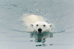 Polar bear swimming in sea Royalty Free Stock Photography