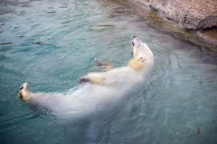 Polar bear swimming Stock Photos