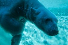 Polar Bear. Swimming under water Royalty Free Stock Photo