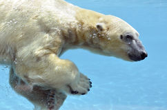 Polar bear swimming underwater Stock Photos