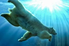 Polar Bear swimming underwater stock photography