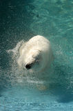 Polar bear swimming in water Stock Photo