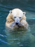 Polar bear swimming in water Royalty Free Stock Photography