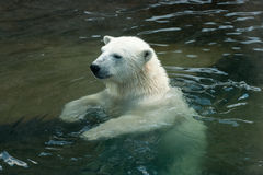 Polar bear swimming in water stock image