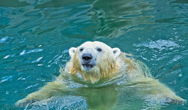 Polar bear swimming in water Stock Images