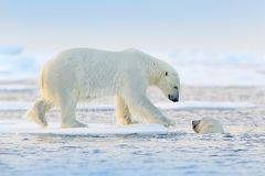 Polar bear swimming in water. Two bears playing on drifting ice with snow. White animals in the nature habitat, Alaska, Canada. Animals playing in snow, Arctic royalty free stock photos