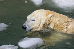 A polar bear swims among the ice floes Royalty Free Stock Images