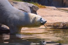 Captive polar bear takes a step into the water before swimming in a zoo in san diego southern california USA. Polar bear swims to cool off at the san diego zoo royalty free stock images