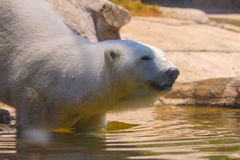 Captive polar bear takes a step into the water before swimming in a zoo in san diego southern california USA. Polar bear swims to cool off at the san diego zoo stock photo