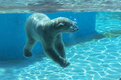 Polar bear swims underwater Stock Images