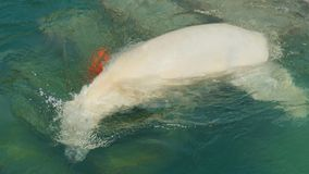 Polar bear swims in the water stock video footage
