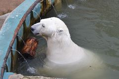 The polar bear swims in the zoo pool in Yekaterinburg. Royalty Free Stock Photos