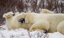 Polar bear takedown stock images