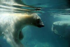 Polar Bear. A polar bear takes a leisurely swim through cold water stock photo