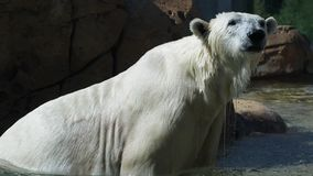 Polar bear takes a water shower stock photography