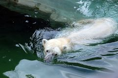 Polar bear taking a bath Stock Images