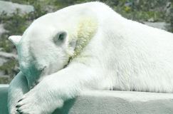 Polar Bear taking a nap. A Polar bear having an afternoon snooze Stock Photography