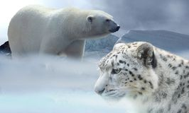 Polar Bear, Terrestrial Animal, Wildlife, Bear Royalty Free Stock Photography