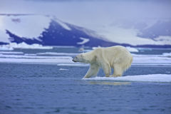Polar bear test water. Polar bear on an ice floe in Svalbard, Norway Stock Photography