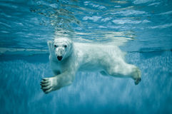 Polar bear. Thalarctos Maritimus (Ursus maritimus) commonly known as Polar bear swimming under water Stock Image