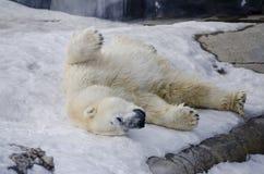 Polar Bear from the Toronto Zoo Royalty Free Stock Photography