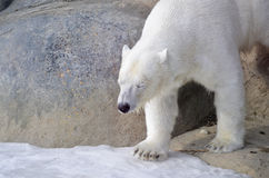 Polar Bear from the Toronto Zoo Stock Photography