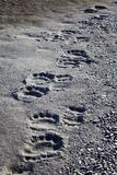 Polar bear tracks Stock Image
