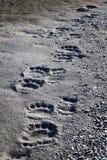 Polar bear tracks. Fresh polar bear footprints on the sand of a shore in Svalbard, Norway stock image