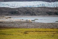 Polar bear in Arctic. A polar bear traversing the Arctic tundra royalty free stock images
