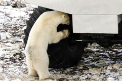 Polar Bear and Tundra Buggy Royalty Free Stock Photography