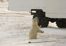 Polar bear and a tundra buggy Royalty Free Stock Image