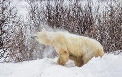A polar bear on the tundra. Snow. Canada. Royalty Free Stock Photography