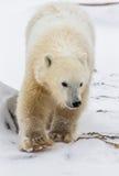 A polar bear on the tundra. Snow. Canada. Stock Photos