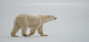 A polar bear on the tundra. Snow. Canada. Royalty Free Stock Images