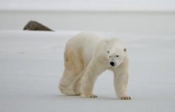 A polar bear on the tundra. Snow. Canada. An excellent illustration Royalty Free Stock Image