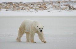 A polar bear on the tundra. Snow. Canada. An excellent illustration Royalty Free Stock Photos