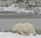 A polar bear on the tundra. Snow. Canada. An excellent illustration Stock Images