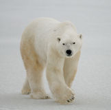 A polar bear on the tundra. Snow. Canada. An excellent illustration Stock Photography