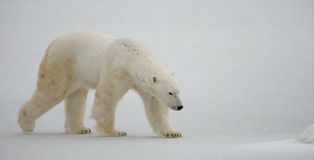 A polar bear on the tundra. Snow. Canada. An excellent illustration Stock Photo