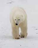 A polar bear on the tundra. Snow. Canada. An excellent illustration Royalty Free Stock Photo