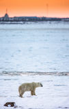 A polar bear on the tundra at sunset, and the outlines of the city. Canada. Stock Photos
