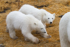Polar bear twin cubs. Two young twin polar bear cubs walk in tandem behind mother; one cub looking toward camera; against yelow moss Royalty Free Stock Photo