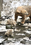 Polar bear. With two bears Stock Images