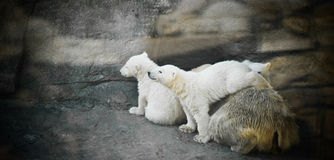 Polar bear with two kids Stock Photo