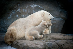 Polar bear with two little babies Stock Images